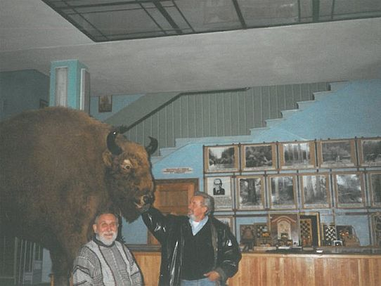 Wisent in Museum